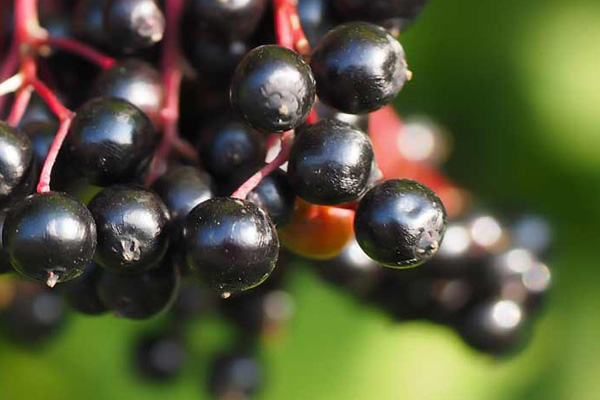 1. Elderberries (consumed worldwide): It contains cyanide in the leaves, twigs and seeds and unripe berries cause diarrhoea and seizures.