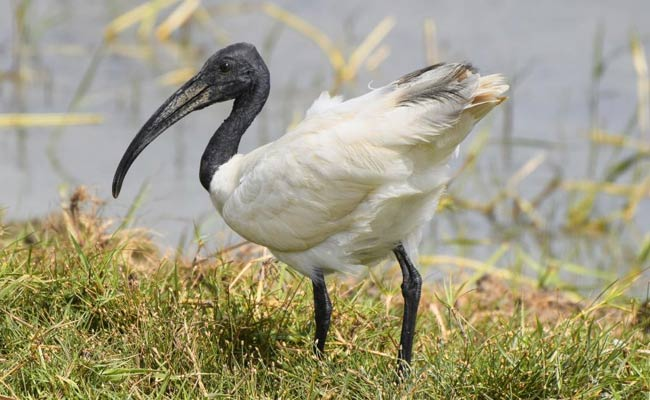 Black-headed Ibis:
