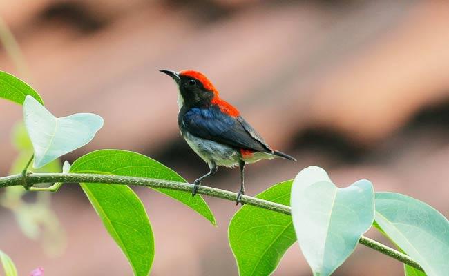 Scarlet-backed flowerpecker: