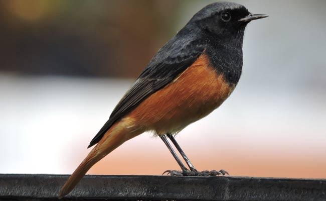 Black Redstart:
