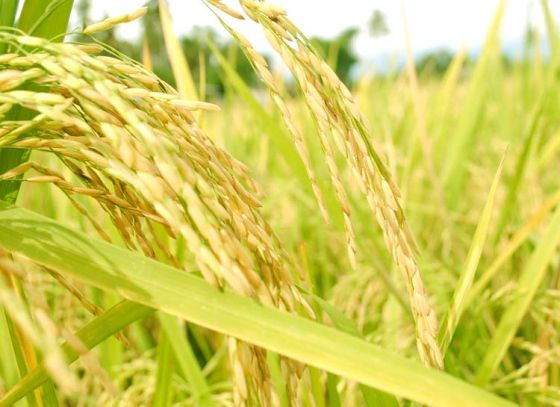 West Bengal to Produce Soft Rice