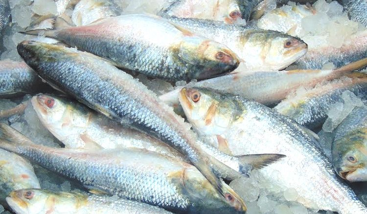West Bengal State Department of Fisheries proposed to introduce law protecting Hilsa that weighs less than 500 grams