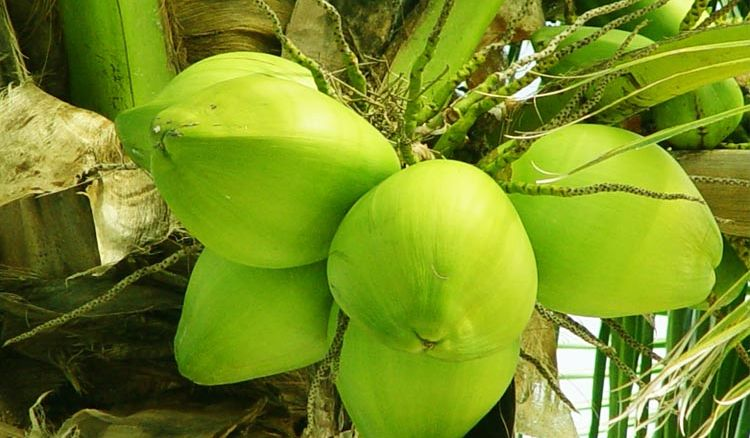 Tender Coconut is the new health tonic for summers