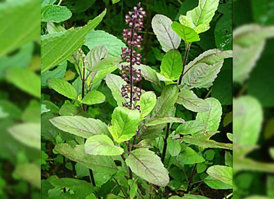 Six Benefits of the holy Tulsi leaves