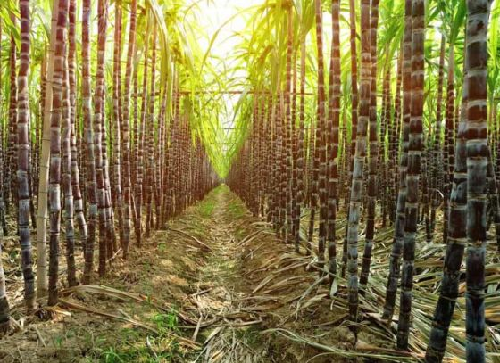 5 reasons why you should drink sugarcane juice