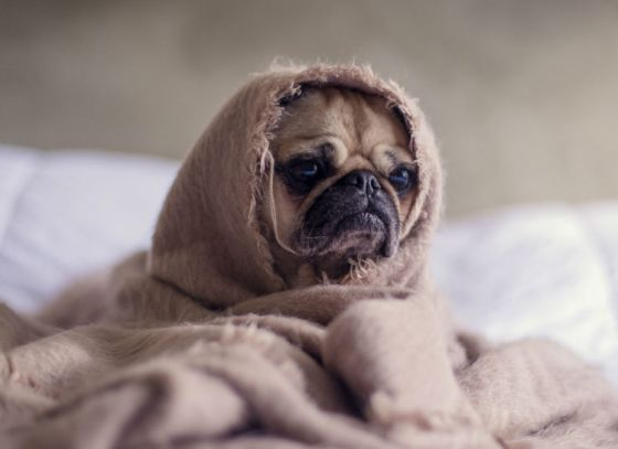 Next Flu Outbreak by Dogs
