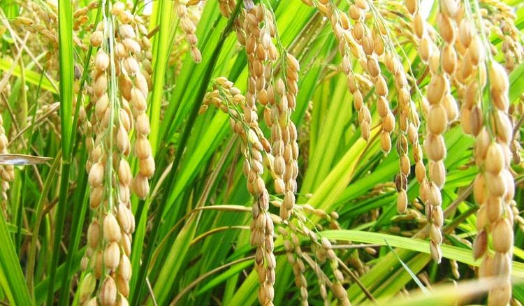 Huge response from the State farmers in obtaining paddy