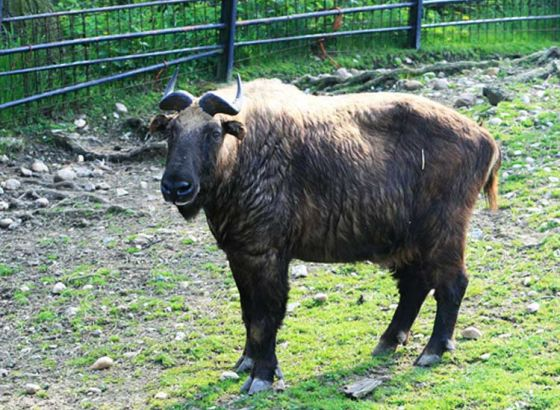 Five Mishmi Takins Sent To Darjeeling Zoo!!
