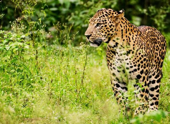 Forest Department gives out extraction order for leopard