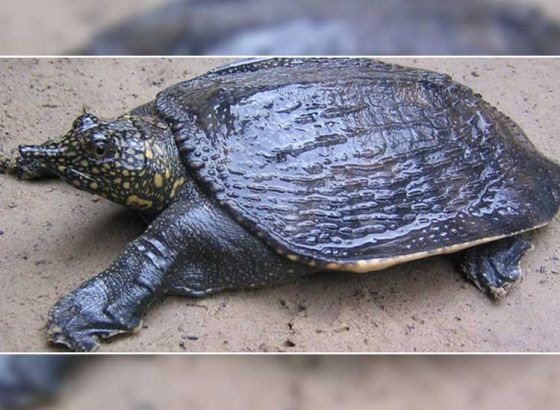 Endangered turtle to become election mascot for Cooch Behar?