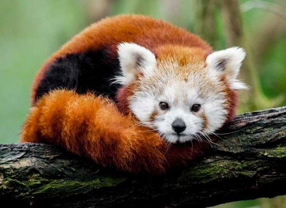 Red Pandas to be released by Darjeeling Zoo