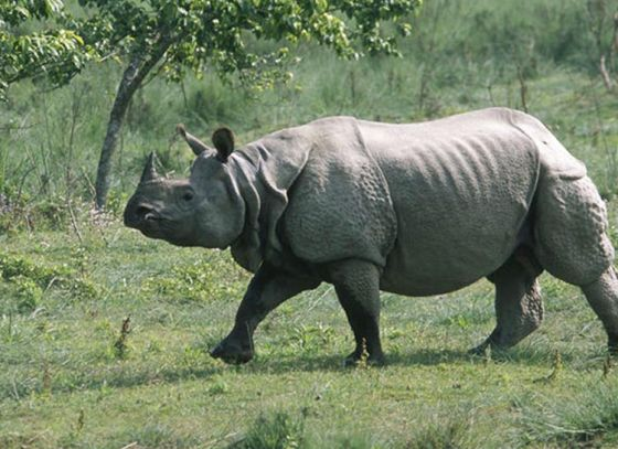 Number of endangered Rhinos goes up in Bengal
