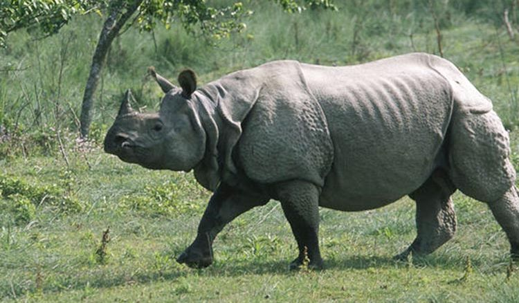 No of endangered rhinos goes up in Bengal