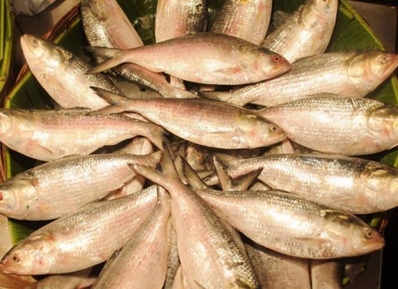 Stop eating 'Ilish' Now!