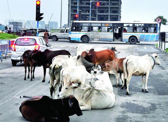 Cattle barrier to be set up at New Town