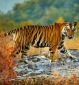 Kolkata couple campaigns to save tigers