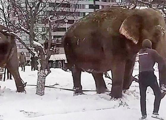 Elephants play in snow at Russia