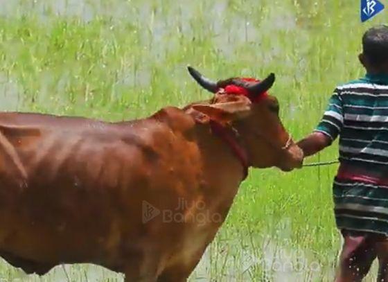 Moichara | Cattle Race Festival of West Bengal | Jiyo Bangla