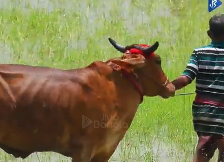 Moichara | Cattle Race Festival of West Bengal | Jiyo Bangla